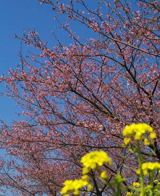 写真: 菜の花、函南桜、春の青空