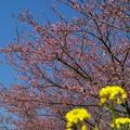 菜の花、函南桜、春の青空