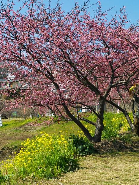 函南桜と菜の花と