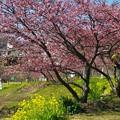 Photos: 函南桜と菜の花と