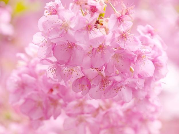 雨上がりの河津桜 -a