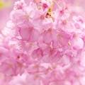 Photos: 雨上がりの河津桜 -a