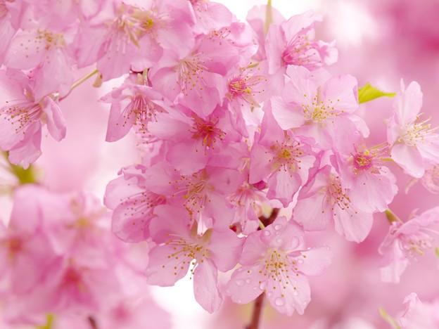 雨上がりの河津桜 -b