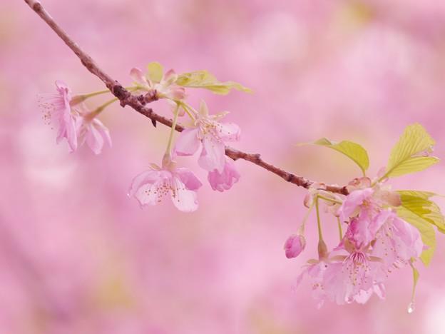 雨上がりの河津桜 -c