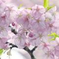 写真: 雨上がりの河津桜 -d