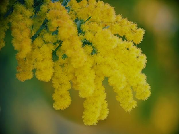 ミモザ咲く季節