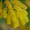 Photos: ミモザ咲く季節