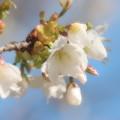 写真: さくらの里の春