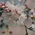 写真: 桜咲くせせらぎ -b