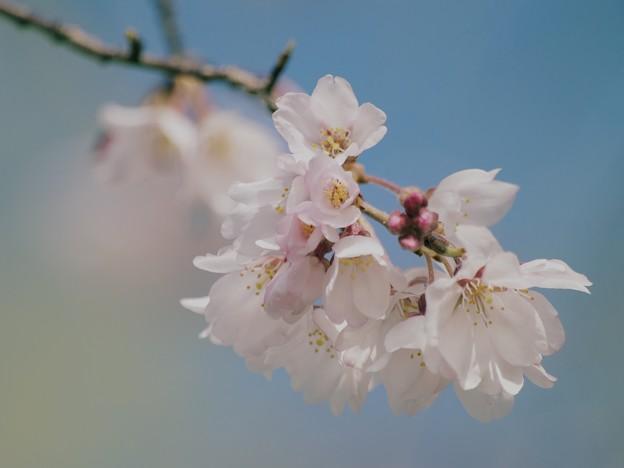 桜咲くせせらぎ -d