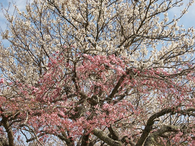 Photos: 紅白桜
