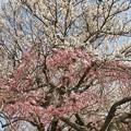 写真: 紅白桜