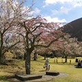 Photos: あっちの桜もねっ
