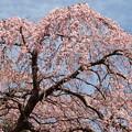 春霞な青空と桜と