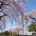 枝垂れ桜の咲く情景