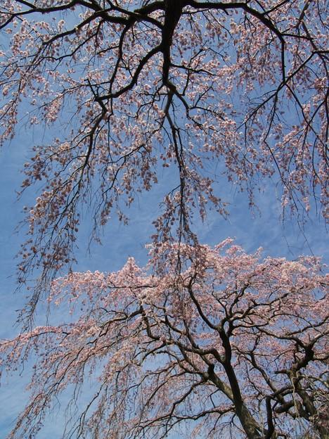垂れるサクラ、春の青空の下