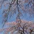 Photos: 垂れるサクラ、春の青空の下