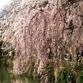 池面に映える枝垂れ姿