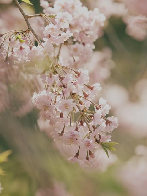 春色垂れる