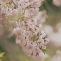 Photos: 春色垂れる