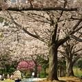 Photos: 桜並木の人々