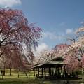 高原に咲く桜