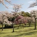 高原に咲くサクラ