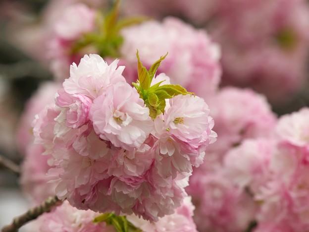 日本の桜の珍種 -d