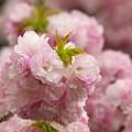 写真: 日本の桜の珍種 -d
