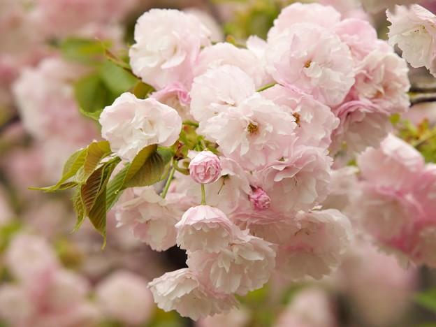 日本の桜の珍種 -c