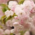 写真: 日本の桜の珍種 -c