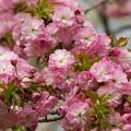 写真: 日本の桜の珍種 -a