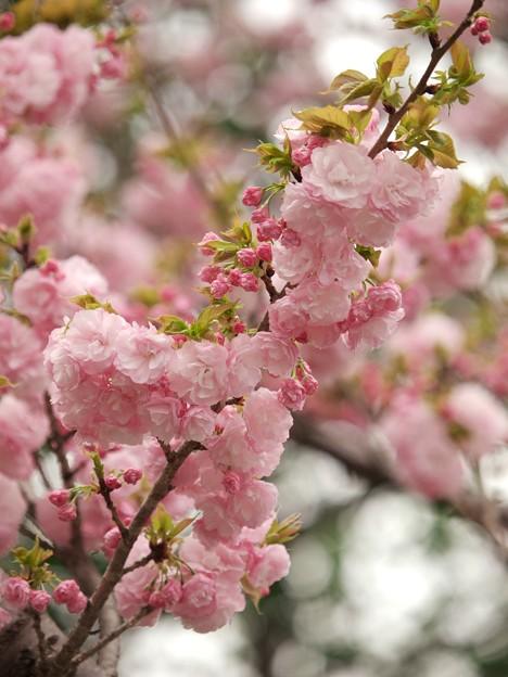 写真: 日本の桜、その珍種 -a