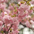 Photos: 日本の桜、その珍種 -a