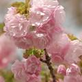写真: 日本の桜、その珍種 -c
