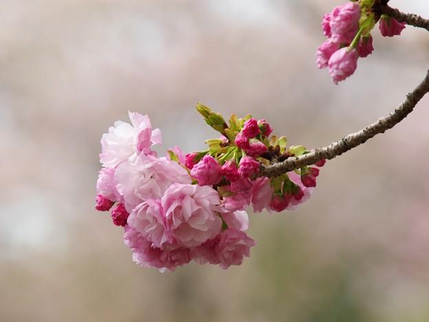 日本の桜、その珍種 -d