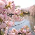 写真: 三嶋大社は春爛漫