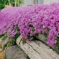 写真: 芝桜の香り