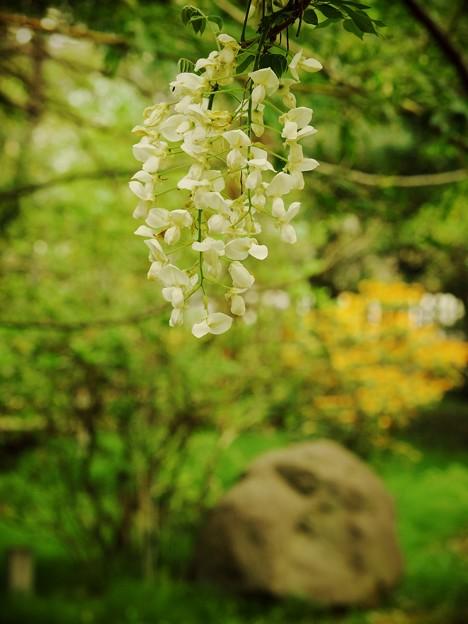 藤の花咲く緑地公園