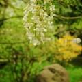 写真: 藤の花咲く緑地公園
