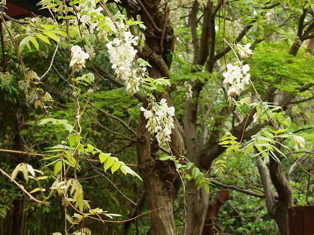 写真: 藤の花咲くカワセミさんの棲み家