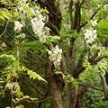藤の花咲くカワセミさんの棲み家