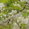 白く咲きました~