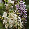 写真: 紫と白と