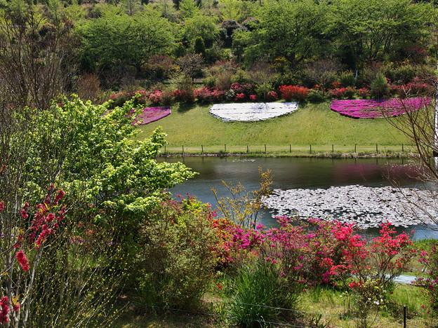水辺の芝桜
