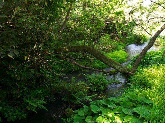 柿田川湧水の調べ