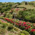 写真: 線路沿いに咲くツツジ