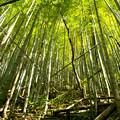 朽ちた竹とそびえる竹
