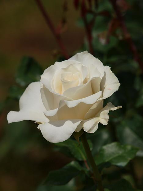 白き薔薇の花びらと陰と