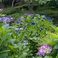 写真: 紫陽花咲く水辺